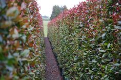 Hedge from Twining Valley Nurseries' Living Walls™ range of instant hedges www.tvn.co.nz/living-screen