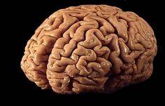 El cerebro de un hombre pesa un promedio de 1.400 gramos, mientras que el cerebro femenino pesa 1.250 gramos. Esto no significa una inteligencia superior sino mas bien que los hombres son más grandes que ellas y por lo cual entre más grande más grande el cerebro.