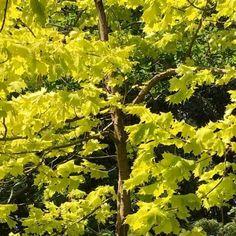 Acer Platanoides Princeton Gold | Yellow Norway Maple