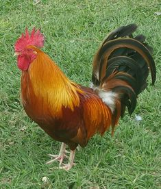 Rooster: Rhode Island Red Plus