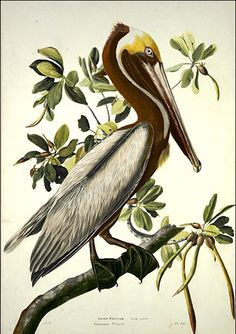 """Brown Pelican: painting by John James Audubon.  The pelican is a symbol of Christ.  The pelican was believed to wound itself in order to feed its young with its own blood (listen to the hymn """"Adoro te Devote"""")."""