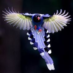 台灣藍鵲 Taiwan Blue Magpie by joinus12345