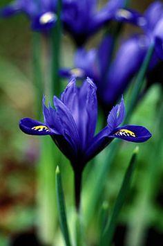 Iris bulbous reticulata 'Harmony' | Right Plants 4 Me