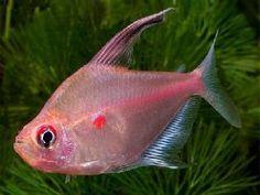 De Hyphessobrycon erythrostigma of bloedvlektetra komt uit Zuid-Amerika (Colombia) en behoort tot de familie Characidae.