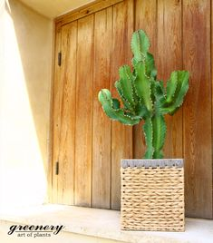Cactus in a basket. A lovely choice for indoors or outdoors! #greenery #cactus #basket #decoration