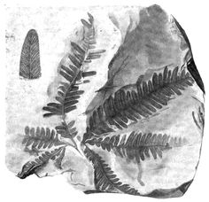Fossil leaves Laccopteris elegans