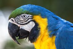 Blue and Yellow Macaw by Renato Serra Fonseca on 500px