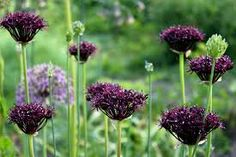 Image result for allium atropurpureum In with grasses with red tips, and purple pointy flowers at the back