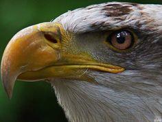 Eagle Head, British Columbia, Bald Eagles, Birds, Photography, Victoria, Canada, Animals, Photograph