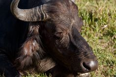 Eye I You - African Buffalo Syncerus caffer Eye I You - The African buffalo or Cape buffalo is a large African bovine. It is not closely related to the slightly larger wild water buffalo of Asia and its ancestry remains unclear.