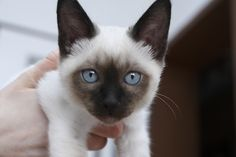 Siamese Cat Gallery - Cat's Nine Lives Siamese Kittens, Cute Cats And Kittens, I Love Cats, Cool Cats, Kittens Cutest, Pretty Cats, Beautiful Cats, Crazy Cat Lady, Crazy Cats