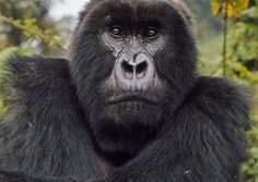Close Encounter With a Mountain Gorilla - African Safari Consultants Dian Fossey, Gorilla Trekking, Mountain Gorilla, Close Encounters, African Safari, How To Raise Money, National Geographic, Habitats, Photo Credit