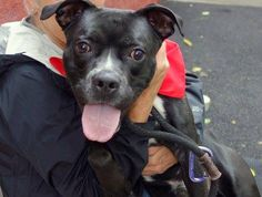 TO BE DESTROYED 10/18/13  Manhattan Center-P~VAGABOND~l ID # is A0981524.I am a male black and white pit bull mix. The shelter thinks I am about 2 YEARS I came in the shelter as a STRAY on 10/09/2013. This active and vocal pup is all energy looking for a release. He's also a  great snuggler. Likely housetrained. Vagabond pulls a bit on the leash ,but is responsive. He does mouth a bit & would benefit from some training/dog socializing. This sweet boy is looking for his forever home.