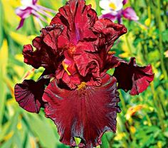 IRIS RAPTOR RED Common Name:	Tall Bearded Iris Introduced in 2008, Tall Bearded Iris 'Raptor Red' brings luscious color to the June garden. Its well-branched stems hold plenty of these bicolor red blooms with a dab of mustard on their beards. Flowers in early to midseason.