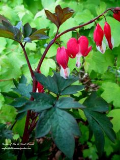 Bleeding Heart for Your Spring Garden