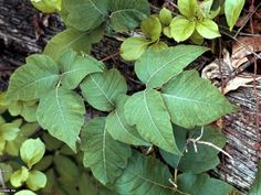 Be alert to the dangers of these poisonous plants for people or pets.