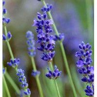 Lavande angustifolia à floraison violet foncé disponible à la vente - GAEC Les…