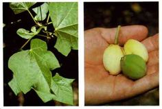 Physic nut: Shrub or small tree, 3 to 5 parted leaves. Small greenish-yellow flowers, yellow, apple-sized fruit has 3 seeds. *CAUTION* Seeds taste sweet but their oil is violently purgative. All parts of the Physic nut are poisonous! Found throughout the tropics & southern U.S.