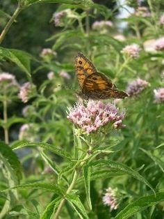 Koninginnekruid - Eupatorium cannabinum - wildebijen.nl - insectenplanten.nl