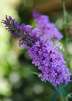The classic butterfly bush is a very fast-growing shrub and supremely easy to grow. It has vigorous growth and long cones of purple flowers that bees and butterflies love. Other varieties are available with white, gold and dark purple flowers.