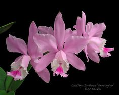 Cattleya Dubiosa 'Kensington'