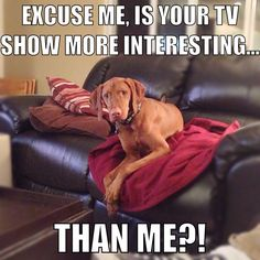 Attention demands from my Vizsla