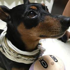 手ぬぐい斗真😂😂 #minipin #minipinlove #minipinstagram  #miniaturepinscher #dog #dogstagram  #ミニチュアピンシャー #ミニピン #ミニチュアピンシャーブラックタン  #デカピン#愛犬#犬