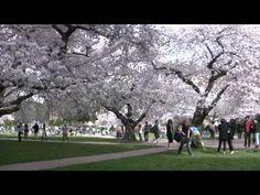 Gorgeous cherry blossoms on UW campus!
