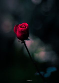 A rose for yesterday. A rose for some place in time Beautiful Rose Photos, Beautiful Roses, Flowers Nature, Love Flowers, White Roses, Red Roses, Rose Tumblr, World Photography, Free Photography