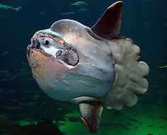 The ocean sunfish, Mola mola, or common mola, is the heaviest known bony fish in the world. It has an average adult weight of 1,000 kg (2,200 lb).