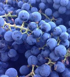 Up close and personal with the beautiful Cabernet Sauvignon grapes from the State Lane Vineyard #goosecross #napaharvest #napavalley #harvest2013