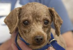 1-1-15 Petango.com – Meet Dennis, a 7 years Poodle, Toy available for adoption in COLORADO SPRINGS, CO. Call (719) 495-7679 to speak to an adoption representative at National Mill Dog Rescue.
