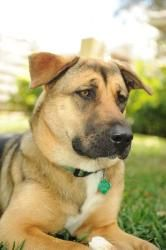 I am Amelia!!!! I am a young German Sheppard mix in Miami. I am good with kids, other dogs and cats. I need a home and people to call my own! I am awesome! Please take a look at my profile!