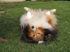 Image result for shelties sleeping on their backs