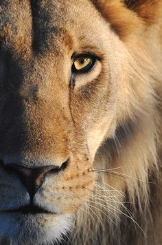 Lion closeup