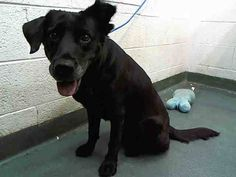 EVA (A1691055) I am a female black Labrador Retriever. The shelter staff think I am about 7 years old. I was confiscated and I may be available for adoption on 04/16/2015. — hier: Miami Dade County Animal Services. https://www.facebook.com/urgentdogsofmiami/photos/pb.191859757515102.-2207520000.1428789883./960814590619611/?type=3&theater