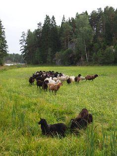 Suomenlampaita Bovikin tilalla. On upeaa seurata, kun paimenkoirat ohjaavat ja siirtävät lampaita laitumelta toiselle!