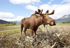 Explore #Alaska and tell us what you find! #moose.