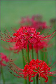 Lycoris radiata (red spider lily) by aloalo* / fleurs / plante / lis / rouge Unusual Flowers, All Flowers, Amazing Flowers, Beautiful Flowers, Red Spider Lily, Virtual Flowers, Arte Floral, Flower Pictures, Dream Garden