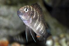 Tropheus Murago Tanzania