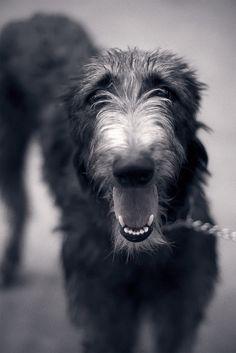 Scottish Deerhound by Seyh' on Flickr.