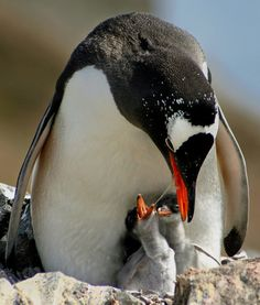 Gentoo Penguin are the most skilled divers and swimmers of all penguin species. Their streamlined bodies allow them to reach underwater speeds of 22 mph, outpacing every other diving bird. Animals Found in Antarctica | PawNation