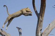 just wow! Wilderness Safaris: Leopard's leap in the Linyanti © Lets Kamogelo #Botswana