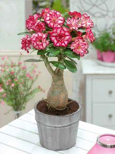 Rose du désert à fleurs doubles bicolores
