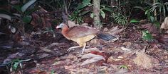 Nocturnal Curassow:  Yasuni National Park