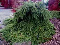 Kigi Nursery - Picea abies ' Formanek ' Dwarf Norway Spruce, $20.00 (http://www.kiginursery.com/dwarf-miniatures/picea-abies-formanek-dwarf-norway-spruce/)