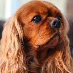 Beautiful ruby ~ re-pinned by doggiechecks.com