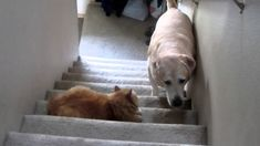 Cats are mean!! Compilation Of Scaredy Dogs Terrified Of Walking Past Cats