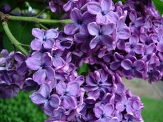 what a gorgeous color for lilacs