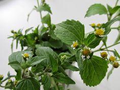 How To Make Oil, Flower Fairies, Alternative Health, Dream Garden, Herbalism, Flora, Medicine, Vegetables, Leis